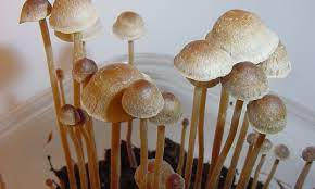 Know how affordable it is to buy the psilocybecubensis mushroom from online suppliers